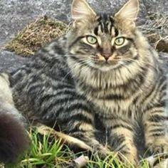 Grå/brun/sort hannkatt savnet i Veståsveien Vestfold. (link: http://dyrebar.no/71566/) dyrebar.no/71566/ #katt #savnet  Grå/brun/sort hannkatt savnet i Nøtterøy  28.12.2017 20:56