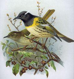 New Zealand Stitchbirds (Notiomystis cincta). Illustration (1800's) by John Gerrard Keulemans (1842-1912) taken from 'A History ...