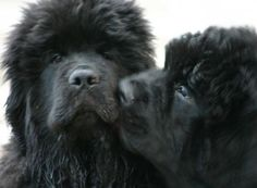 Newfoundlands giving kisses out to each other..love 2 c a couple of dogs loving each other..they belong in pairs..Love U both back..peace B with U both always