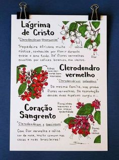 Clerodendros (Print - All About Balcony Cactus Plants, Garden Plants, House Plants, Botanical Prints, Botanical Gardens, Plants Are Friends, Succulent Gardening, Green Life, Outdoor Plants