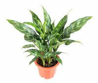 Great advice on Chinese evergreen (aglaonema) light requirements (too low will make it leggy), watering, and even pruning.