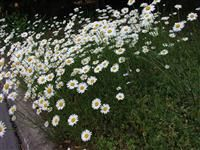 Family: Asteraceae  Botanical Name: Leucanthemum vulgare  Plant Common Name: Oxeye Daisy  Ox-eye daisy grows and flowers best in full sun and moderately fertile, well-drained soil. a cheerful presence, this perennial is listed as a noxious weed in several states.