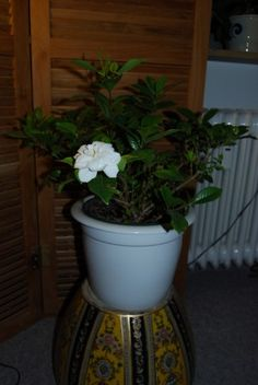 Lucky mother who received a gardenia for mother's day! Learn how to take care of it in this article, and keep it flowering for years.