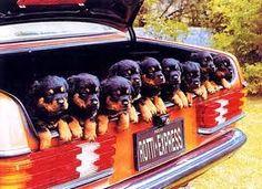 rottweiler puppies!!!
