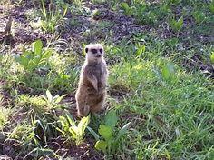 Oakland Zoo - Meerkat