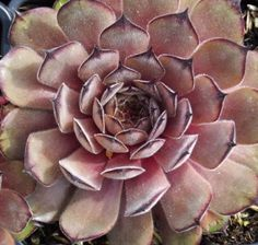 Sempervivum 'Proud Zelda'