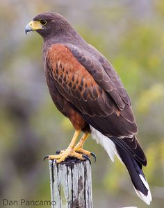 Harris Hawk - Parabuteo unicinctus A selection of bird photos A selection of bird photos Raptor Bird Of Prey, Birds Of Prey, Tropical Birds, Colorful Birds, Owl Bird, Pet Birds, Types Of Eagles, Harris Hawk, Belleza Natural