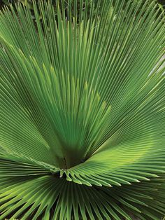Helen and Brice Marden's Caribbean Hotel - Cuban petticoat palm is one of 20 species of palm in the garden.