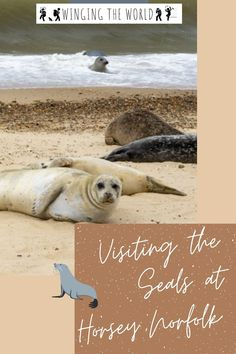 The seals at Horsey are one of Norfolk's top attractions. This is one of the best places to see grey seals and their pups in the wild! Plan Your Trip, Seals, Polar Bear, Places To See, The Good Place, Travel Tips, Pup, Grey, Animals