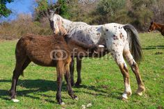 Horse foal suckling from mare in the pasture. #Horses #Foal #Milk #Suclinkg #Pasture #Farm #Italy #Landscape #Baby