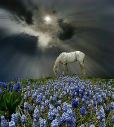 Speckled White Horse grazing alone in a Pasture full of Grape Hyacinth or Muscari. Somewhat wild threatening sky.