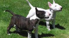Estas son las razas caninas más peligrosas del mundo   El Puntero