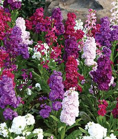 Stock, Harmony Mix.The best choice for an authentic Victorian country garden.
