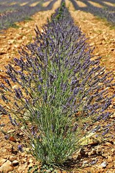 Lavender beautiful in Provence, France