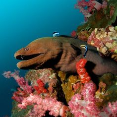 """From @wildbluesau on Instagram, """"A curious Giant Moray Eel, watching us as we pass by."""""""