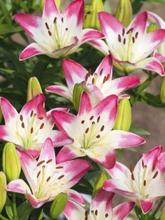 "Daylilies  ~  late-blooming varieties include ""heirloom heaven"", ""autumn minaret"" and ""the jury is out"""