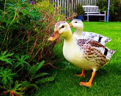 miniature silver appleyard ducks pictures - Google Search