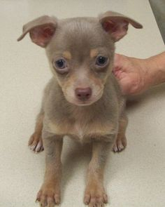 Adorable lilac chihuahua puppy