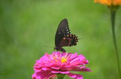 Butterfly on a pink zinnia in our garden #CKFinePhoto #butterfly