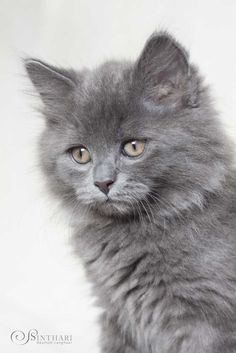 Domestic cats evolve the ability to hover to save them the bother of walking. Cute Puppies And Kittens, Kittens Cutest, Cats And Kittens, Hover Cat, Cut Cat, Super Cute Cats, Domestic Cat, Rembrandt, Beautiful Cats