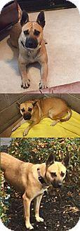 Chantilly, VA - Boxer Mix. Meet Cassie, a dog for adoption. http://www.adoptapet.com/pet/17243209-chantilly-virginia-boxer-mix
