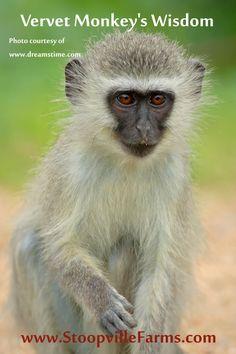 Shaman Vervet Monkey's Wisdom