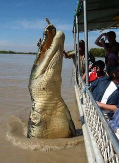 biggest #crocodile in #australia