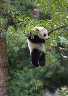Baby panda: Hang in there!