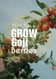 Superfoods From Your Garden - How to Grow Goji Berries