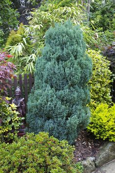 Chamaecyparis lawsoniana 'Ellwoodii' (Lawson false cypress) This conifer is more than 25 years old. Steel-blue color of this conifer. It is a compact densely branched, 'relatively slow' growing conifer with relatively soft, feather-shaped foliage comprising silver-blue scaled 'needles'.