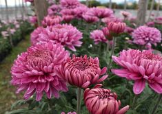 Fiori di Crisantemo💐 🍃Our products are available Chrysanthemums, Nature Photography, Flora, Earth, Colours, World, Amazing, Green, Plants