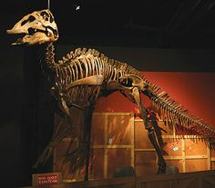 Edmontosaurus annectens, a flat headed Duck-billed Dinosaur from the Late Cretaceous 73-66 Million Years Ago