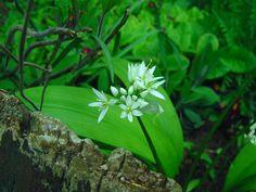 Medvehagyma virága