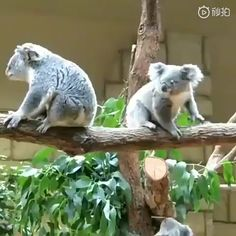 excuse me i am in a hurry - Koala Funny - Funny Koala meme - - excuse me i am in a hurry Cute Little Animals, Cute Funny Animals, Funny Koala, Koala Meme, Cute Animal Videos, Cute Animal Pictures, Tier Fotos, Funny Animal Memes, Pet Birds