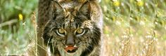 Iberian Lynx - A great cat in a shrinking space.