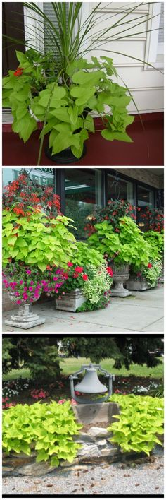 how to grow potato vine from cuttings