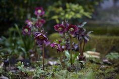 Gardening 101: Hellebore - Gardenista