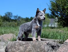 The Called Bluff. Australian Cattle Dog Puppy, Austrailian Cattle Dog, Baby Dogs, Dogs And Puppies, Doggies, Gado, Dog Rules, Blue Heelers, Dog Pictures