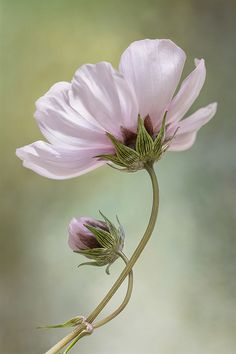 Pink Flowers Inspiration : Cosmos by Mandy Disher on - Flowers.tn - Leading Flowers Magazine, Daily Beautiful flowers for all occasions Cosmos Flowers, Flowers Nature, White Flowers, Beautiful Flowers, Blossom Garden, Blossom Flower, Flower Art, Flower Images, Flower Pictures