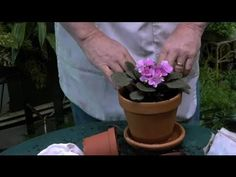 ▶ How to Care for Small, Potted African Violet Plants : Gardening With Succulents & More - YouTube