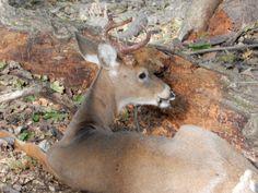 Young Buck, Kangaroo, Horns, Ohio, Deer, Animals, Baby Bjorn, Horn, Columbus Ohio