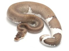 'Fire Silver Bullet Pied' ball python.