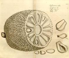 v. 3-4 1682-1683 [#899] - Hortus Indicus Malabaricus : - Biodiversity Heritage Library