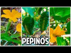 Como sembrar pepino en casa parte 3 - Polinización y Cosecha @cosasdeljardin - YouTube