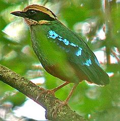 Green-breasted Pitta is a much-wanted though elusive denizen of Kibale Forest National Park in Uganda.