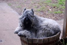 rescued bouvier des flandres