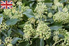 British Berried ivy (Hedera helix), Autumn Foliage at New Covent Garden Flower Market - October 2015 New Covent Garden Market, Hedera Helix, Flower Market, How To Make Wreaths, Ivy, Wedding Flowers, Succulents, Berries, Seeds