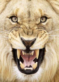 Snarling lion by Reino Boshoff