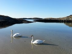 Swans in Norway