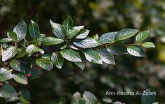 Ann-Kristina Al-Zalimi, Cotoneaster integerrimus, Cotoneaster, tuhkapensas, pensas, puutarha, garden, flora, plant